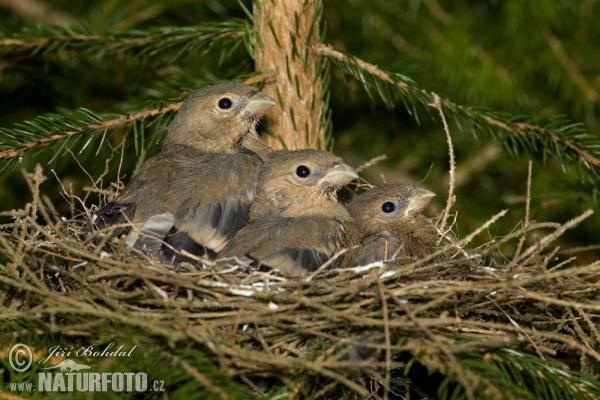 Deze afbeelding heeft een leeg alt-attribuut; de bestandsnaam is goudvink-nest-met-jongen-1.jpg